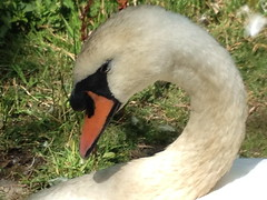 Tristan dozing (FernShade) Tags: vancouver stanleypark lostlagoon muteswan cygnusolor swan swansofstanleypark stanleyparkswans lostlagoonswans tristan cob sleepyswan