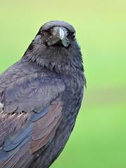 Crow (PhotoLoonie) Tags: bird gardenbird black crow carrion beak feathers ukwildlife ukgardenbird britishwildlife britishbird