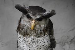Barred /Malay Eagle Owl  Bubo Sumatranus (Lim SK) Tags: barred malay eagle owl  bubo sumatranus