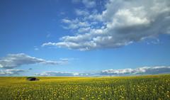 Barn 2016 (SedatPhotography) Tags: barn rapeseed field yellow uk british farm landscape stunning view clouds blue sky 2016