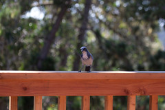 IMG_6318 (armadil) Tags: backyard bird birds jay jays scrubjay scrubjays