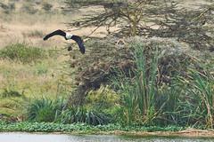 Fish Eagle on the prowl (paulinuk99999 - just no time :() Tags: paulinuk99999 wildlife niarobi national park sal70400g kenya