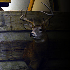 Whitetail Deer Shoulder Mounts (Yasser H. Alwan) Tags: nikon d7100 nikkor 1855mm vr ii whitetail deer taxidermy lakehopelodge ohio278 mcarthur oh