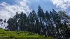 Pine Forest in Bhutan - 1 (Syed Mojaddedul Islam (Sagor)) Tags: syed mojaddedul islam sagor smisagor dhaka bangladesh canon eos 60d bhutan diary travel photography pine forest himalayan mountain