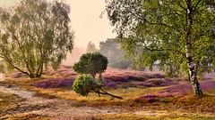 Idyllic heath land (flowerikka) Tags: germany westruperheide heathland landscape purple violett flowers trees fog misty sunrise earlymorning morningwalk