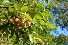 Le piccole mele - 21 settembre ;-) (boisderose) Tags: mela melo apple tree birthday september21th 21settembre autunno autumn boisderose sep222016485explore