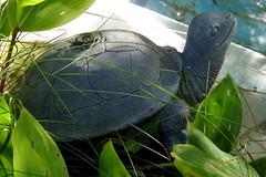 Turtle sprinkler (diffuse) Tags: turtle sprinkler metal pond msh091611 msh0916