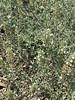 Organic Patchoulii Plant