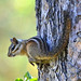 Sonoma Chipmunk - Photo (c) Don Loarie, some rights reserved (CC BY)