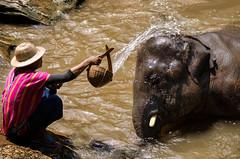 elephant wash (Alessio De Grecis) Tags: world wild elephant man nature water thailand nikon friendship wash chiangmai feeling earthasia