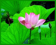 Lotus flowers grow out of the mud pure and clean, like morning dew from Heaven or water in springtime from a flower creek. (jackfre2 (on a trip-voyage-reis-reise)) Tags: china flower beautiful pond shanghai symbol lotus peoplespark purity lotusflowers unstained mygearandme mygearandmepremium rememberthatmomentlevel1