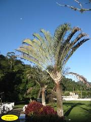 Palmeira (Janos Graber) Tags: planta miguel azul céu lua vegetal palmeira pereira miguelpereirarj