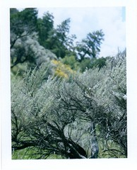 sagebrush at red canyon (EllenJo) Tags: west polaroid utah ut roadtrip sage september southernutah americanwest sagebrush 2012 chadsbirthday landcamera redcanyon instantfilm fujifp100c ellenjo bornin1972 ellenjoroberts bigbasinsage september2012 rollfilmcameraconvertedtopackfilm convertedpathfinder