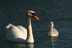 Mom and her baby (Ducklover Bonnie) Tags: cygnet muteswan img8198