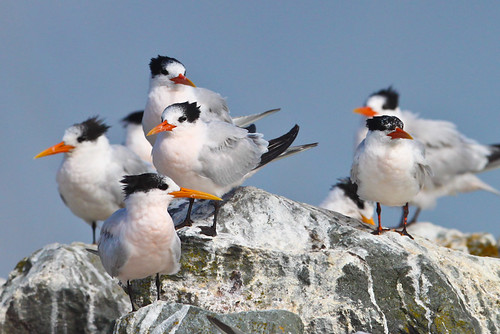 <p>Also largely a Mexican breeder is the Elegant Tern, a mid sized tern with a long and droopy orange bill and shaggy crest. On most birds you can see a salmon wash to the underparts, but it is very difficult to capture this on camera. </p>