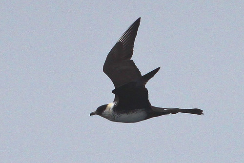 <p>This adult Pomarine Jaeger is showing pretty good spoon shaped tail streamers, a feature unique to the Pomarine Jaeger. Also the dark cap extends well below the eye, to the chin. Unusual on this individual is that it lacks a breast band, it may be a male. </p>