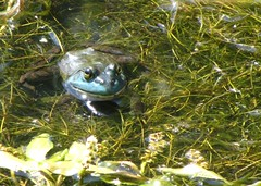 Frog on a Bike Ride (DeMay) Tags: pond eyes toad