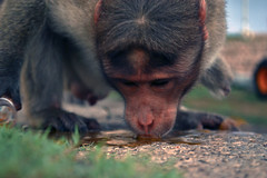 Cross Road Blues (Suresh Joseph Skaria) Tags: india monkey drinking roadside karnataka mysore chamundihills uttesh sureshjosephskaria