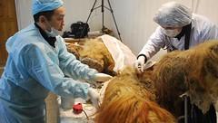 Descubren células vivas de un Mamut al este de Rusia (La Extra - Grupo Diario de Morelia) Tags: de la al morelia noticias un este michoacán extra diario rusia periódico vivas mamut células descubren