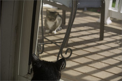 Oreo Found a Cat (joeldinda) Tags: door cats raw screen porch kitties joeldinda 1v1
