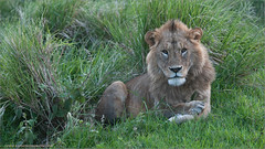 Lion in the Grass (Raymond J Barlow) Tags: africa travel nature animal tanzania wildlife adventure teaching 200400vr nikond300 70200vr2 raymondbarlowtours