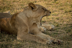 Wild Lionesses - South Luangwa, Zambia (virtualwayfarer) Tags: africa travel wild nature nationalpark hunting lion yawn safari tired wildanimal lioness bigcats zambia t3i southluangwa zambian 600d alexberger virtualwayfarer