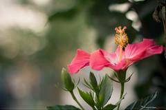 Bokeh <3 (Pedro Lemoine) Tags: pink flower verde green canon eos bokeh flor rosa pedro corderosa lemoine rosachoque 60d bokehlicious