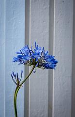 Agapanthus (Petra Dahlberg) Tags: autumn flower agapanthus hst bl lilja afrikas
