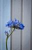 Agapanthus (Petra Dahlberg) Tags: autumn flower agapanthus höst blå lilja afrikas