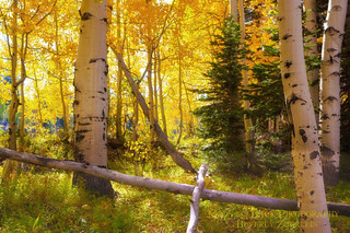 Deep In The Aspen Forest