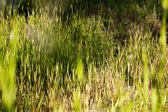 Morning dew (afloden) Tags: plants water grass norway h2o planter gress waterdroplets vann troms troms vanndrper