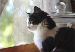 Frankie in the window (blaneyphoto.) Tags: blackandwhite cat kitten feline tuxedo