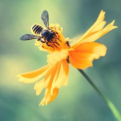 (Marc Benslahdine) Tags: summer flower macro fleur yellow bokeh bee lightroom canonef100mmf28macrousm marcopix canoneos5dmkii tripax marcbenslahdine marcopixcom