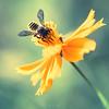 (Marc Benslahdine) Tags: summer flower macro fleur yellow bokeh bee lightroom canonef100mmf28macrousm marcopix canoneos5dmkii tripax ©marcbenslahdine marcopixcom