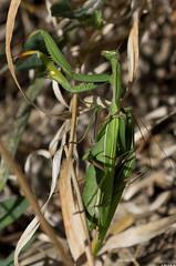 Mantes religieuses (mantis religiosa) (Le No) Tags: 31 insecte hautegaronne midipyrnes mantereligieuse mantisreligiosa mantidae stlon lauragais collectionnerlevivantautrement sereproduire