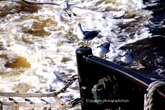 Move over fellows I Need a Ride (Photographybyjw) Tags: seagulls ferry river ride fear north over move carolina need cape across fellows i follwing photographybyjw