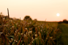 Ready for Harvest (giantmike) Tags: sunset sun field evening corn bokeh farm wi middleton canonef50mmf14usm popefarmspark