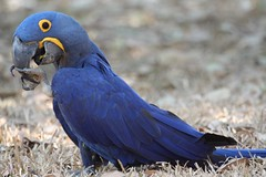 Hyacinth Macaw (Alastair Rae) Tags: brazil birds interestingness anodorhynchushyacinthinus interestingness117 i500 araraazulgrande globalbirdtrekkers