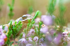 _MG_0469 (Den Boma Files) Tags: fauna dieren kikker amfibieen stropersbos