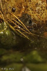 California Red-legged Frog (Rana draytonii) (aliceinwl1) Tags: amphibia amphibian anura ca california californiaredleggedfrog chordata esa endangeredspeciesact rana ranaauroradraytonii ranadraytonii ranidae santabarbaracounty threatened truefrog v draytonii herp listed locnoone threatenedspecies viseveryone unitedstates