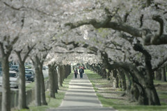 Sunday someday (bkiwik) Tags: park flowers trees newzealand christchurch tree nature digital canon spring dof blossom path blossoms canterbury nz dslr aotearoa pathway washedout hagleypark eos400d hagleyparkblossoms deansavenue