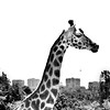 urban giraffe (Ipanem-2009) Tags: madrid bw zoo giraffe biancoenero giraffa blackdiamond d90 bsquare urbanblackandwhite blackwhitephotos flickraward blakcdiamond bestofmywinners