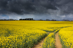 Yellow through and through (snowyturner) Tags: flowers trees tractor lines yellow clouds tracks devon oil rapeseed ermington yealmpton