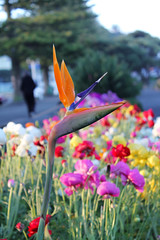 Bird of Paradise (hellomisspotter) Tags: flowers napier