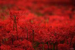 RED on RED (miwa**) Tags: red flower macro nikon nikkor 2012 彼岸花 clusteramaryllis miwa d90 105mmf28dmicro nikond90