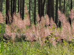 Saccharum giganteum (Sugarcane plume grass) [Explore 10-01-2012] (jimf_29605) Tags: southcarolina sigma olympus wildflowers e5 105mm francismarionnationalforest berkeleycounty sugarcaneplumegrass saccharumgiganteum olympus14xteleconverter