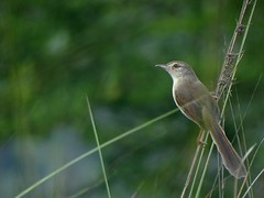 Phutki / Plain Prinia, or the Plain, or White-browed, Wren-Warbler (Prinia inornata) (Birds of Bengal by Nabarun Sadhya) Tags: india bird nature wildlife sony cybershot prinia inornata plain kolkata westbengal whitebrowed ckbs wrenwarbler hx100v