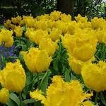 Dutch Tulips, Keukenhof Gardens, Netherlands - 3945 thumbnail