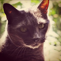 Handsome devil (liquidnight) Tags: camera light shadow cats pets sunlight animals grey eyes nikon feline warm bokeh whiskers katzen dorian russianblue moggy d90 instagram