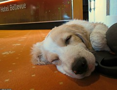 20120607_14 Tired puppy boy in hotel lobby | Plitvice Lakes National Park, Croatia (ratexla) Tags: life travel sleeping vacation favorite orange dog pet pets holiday cute travelling dogs beautiful animal animals puppy carpet mammal hotel cool puppies europe earth croatia lobby hund backpacking journey tired traveling asleep biology mammals epic interrail animalplanet semester 2012 1000views zoology hrvatska plitvice interrailing tellus sover trtt kroatien djur valp organism hundar nonhumananimals plitvicelakes eurail plitvicelakesnationalpark tgluff hotelbellevue plitvikajezera valpar dggdjur europaeuropean almostanything nonhumananimal tgluffning tgluffa unlimitedphotos eurailing photophotospicturepicturesimageimagesfotofotonbildbilder canonpowershotsx40hs 7jun2012 ratexlasinterrailtrip2012 resaresor tgresatgresor